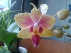 Little orchidea