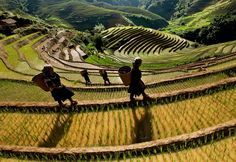 #MuCangChai District, located in the #northeastern part of #Vietnam and some 1000 meters above sea level, is perhaps more unique than any other destination in the world because of its terraced rice field treasures.
