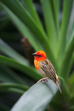 Red-headed fody bird