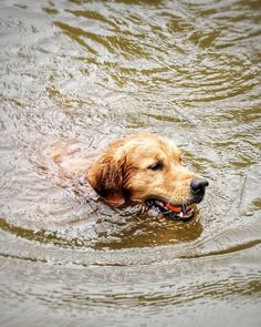 Labrador retriever fetching the orange ball. | by Robert Diel
