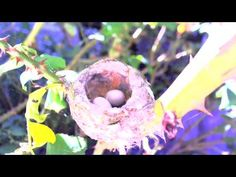 Video of a Hummingbird Chick Hatching.  The 3:50 mark has a really cool part where momma feeds her hatchling.