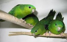 Never heard of a linnie? Read on! Lafeber Company keeps your bird knowledge growing! Parakeet Food, Parakeet Care, Parrot Pet, Parrot Toys, Diy Bird Cage, Budgies, Parrots, All Birds, Pet Tags