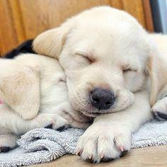 いいね!6,548件、コメント65件 ― @talesofalabpuppyのInstagramアカウント: 「Snugglepups. They make nice pillows... Congrats on the feature to the future heroes @greencapes…」