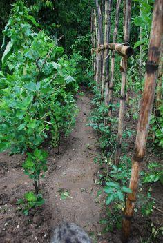 Tomateiros e uva espim. Em Outubro as uvas espim vão sair deste sitio e vão para um outro espaço só de vagas e frutas pequenas.