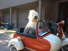 Old English Sheep Dog 1962 Vespa w/ sidecar vintage, His name is Enzo. julee terilli