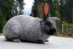 rabbit_champagne_d'argent_buck.jpg (1549×1037)