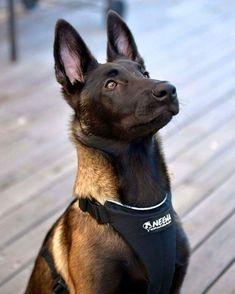 That face ! Berger Malinois, Belgian Malinois Dog, Belgian Shepherd, German Shepherd Dogs, Pastor Belga Malinois, Belgium Malinois, Service Dogs, Working Dogs, Beautiful Dogs