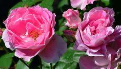 Pink Roses at Glen Foerd Estate