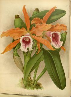 Orchid album :. London :B. S. Williams,1882-97..