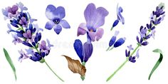 Wildflower lavender flower in a watercolor style isolated.. Illustration about petal, decoration, fall, isolated, collection, garden, plant, silhouette, ornament, spring - 97498720 Lavender Flowers, Wild Flowers, Watercolor Flowers, Ornament, Silhouette, Decoration, Fall, Spring, Garden