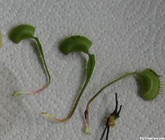 Three Leaf Pullings - methods of Venus flytrap propagation