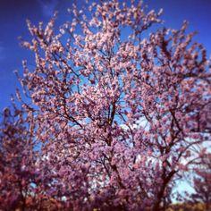 La primavera en Chulilla quiere y no puede, almendros en flor 16 de febrero 2014