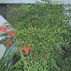 Semi-Evergreen Shrubs for hedge: Nandina domestica 'Heavenly Bamboo'(NANDINA 'HEAVENLY BAMBOO') Attractive evergreen shrub with upright stems and heavily divided foliage.Colors from green to red and red berries in autumn throughout winter. 6-8 ft h, 2 ft w, zones 6-9