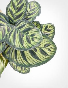Calathea makoyana - Peacock Plant - Green Friends for Our Home  IMAGES, GIF, ANIMATED GIF, WALLPAPER, STICKER FOR WHATSAPP & FACEBOOK