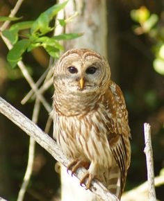 https://flic.kr/p/scb2R2 | Big Cypress Barred Owl Looking at me April 2015-39 | Big Cypress April 2015