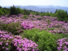 THIS IS THE LARGEST GROUP OF NATURAL RHODODENDRUMS IN THE WORLD, HERE IN NE TN ON RAON MOUNTAIN - A FAVORITE PLACE OF OURS
