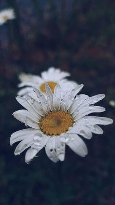 #fleur #flower #daisy #flowerphoyography #poetic #marguerite Marguerite Flower, White Sunflower, Bouquet, Kinfolk, Green Nature, Daisies, Art Reference, Planting Flowers, Florals