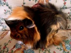 peruvian guinea pig for sale philippines | Zoe Fans Blog