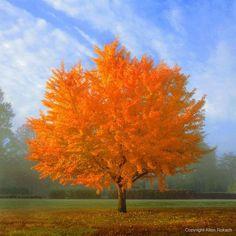 ✮ Ginkgo Tree