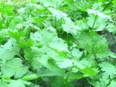 Koriander 'Caribe' (Coriandrum sativum 'Caribe')