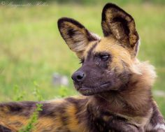 A beautiful African wild dog in Madikwe Game Reserve, South Africa by Margaruitte Heller African Hunting Dog, African Wild Dog, Hunting Dogs, Wild Animals Photos, Carnivore, Wild Dogs, Hyena, African Animals, Pictures To Draw