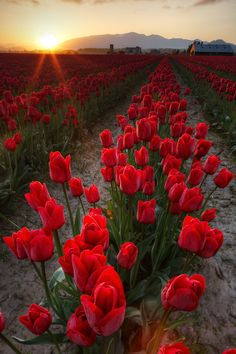 Rows of red tulips at sunrise, Skagit Valley, Mount Vernon, Washington