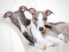 ~ Whippets ~