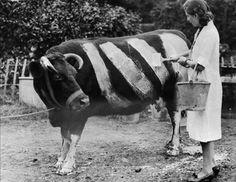 Фермер красит корову, чтобы та не попала под машину, Великобритания, 1939 год.  Невероятно редкие исторические кадры, которые вам никогда не забыть • НОВОСТИ В ФОТОГРАФИЯХ