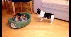 Pack Buddy - Google+ French Bulldog Puppy Want His Bed Back from the Cat Thief