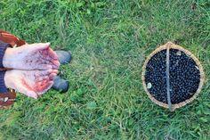 Haha, plăcerile și neplăcerile culesului de fructe de pădure, în cazul ăsta #aronia melanocarpa :D Fotografie de @§ ßΘΘ⊂нє⊂к pe Flickr