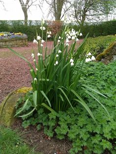 Summer Snowflake, Snowbell, Dewdrop Leucojum, What a showy bunch. Love this. :0)