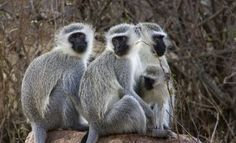 Vervet monkeysMurang'a County government is being ridiculed for allocating resources to capture marauding monkeys in Gatunyu Village in Gatanga.The county has declared an all-out war against the mischievous animals and has started a programme dubbed. Types Of Monkeys, Monkey Pictures, Ape Monkey, Friends Family, Hunting, Creatures, Animals, Lemurs, Business