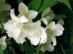 Jasmine Flower :: Jasminum officinale