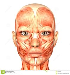 anatomy face | Royalty Free Stock Images: Human Anatomy - Face