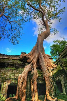 Cambodia: Ta Prohm Temple. Unlike most Angkorian temples, Ta Prohm has been left in much the same condition in which it was found: the photogenic and atmospheric combination of trees growing out of the ruins and the jungle surroundings have made it one of Angkor's most popular temples with visitors.