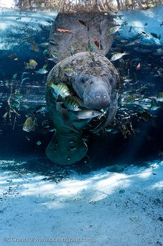 In the Florida springs. sunfish often gather around manatee to nibble. While it is not certain this fish attention is beneficial to the manatee, they do seem to tolerate the little sunfish if there aren't too many.