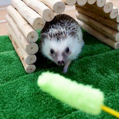 Hedgehog Care, Funny Hedgehog, Pygmy Hedgehog, Baby Hedgehog, Cute Funny Animals, Cute Baby Animals, Animals And Pets, Dou Dou, Pet 1