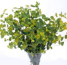 BUPLEURUM - is it a greenery or a flower?  The dill colored clusters look like a bloom.  Great for a pop of green.