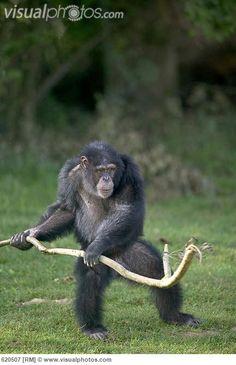 bonobo standing up - Google Search