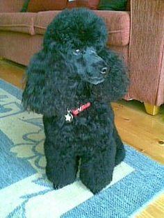 Georgie - Toy Poodle