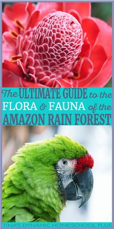 The Ultimate Guide to the Flora and Fauna of the Amazon Rain Forest. Learning about the lush plants and fascinating animals of the Amazon Rain Forest makes for a fascinating homeschool unit study. Bring learning alive through hands-on activities, free guides and ideas for learning about the flora and fauna of the Amazon Rain Forest in this Ultimate Guide. Click here!