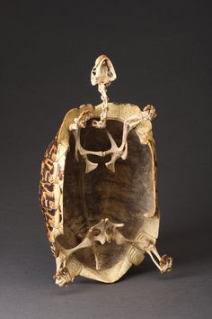 The Complete Mounted Skeleton and Shell of a Large African Leopard Tortoise (England)