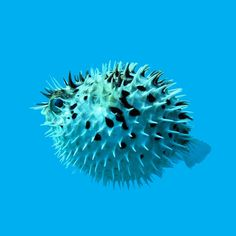 Pufferfish. When swimming, it looks like a helpless fish. But by gulping down water, it can make itself puff up and show its spikes.