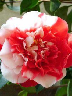 ie Japanische Kamelie / Camellia Japonica General Coletti verzückt durch die außergewöhnliche und detailreiche Blütenpracht mit vielen Weiß- und Rotakzenten und blüht bereits ab Januar