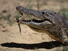 """""""When you watch a crocodile, whose jaws are specifically built to crush bone, picking up these babies very gently and bringing them to water and taking care of them, it's just phenomenal"""""""