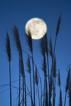 - Full Moon Wheat - #moonshine #moonpics #moonlight http://www.pinterest.com/TheHitman14/moonshine-%2B/