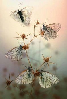 Mariposas #Butterfly | #Butterflies | #Moths