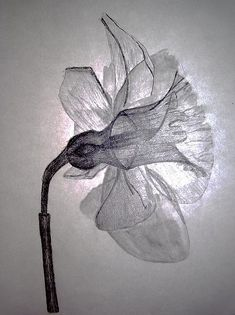 """""""xray drawing"""" of march birth flower: jonquil (daylily)"""