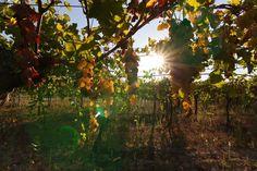 Kennen Sie schon unsere Neuentdeckung? Der Primitivo begeistert nicht nur uns, sondern auch Weinkritiker und Süditalien-Spezialist Luca Maroni. Erfahren Sie hier mehr über unseren neuen Süditaliener.