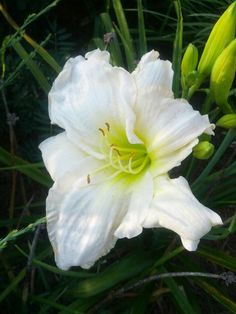 White Temptation :  planted July 2008
